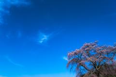 SAKURA Blue (HarQ Photography) Tags: japan nara cherry blossom sony a900 sal24f20z 又兵衛桜 本郷の瀧桜
