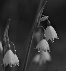 _IAW0826 (IanAWood) Tags: blackandwhite kewgardens london richmond surrey snowdrops springflowers galanthus royalbotanicalgardens flowermacros 105mmf28gvrmicro d3x nikkor105mmf28gvrmicro flowersinbw walkingwithmynikon