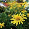 Macro 1st Try [Explored] (Meljoe San Diego) Tags: park flower macro colors fuji philippines baguio burnham x10 meljoesandiego