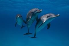 Spotted Dolphins (scott1e2310) Tags: ocean dolphins sharks february bahamas reef 2012 underwaterphotography tigersharks scottportelli