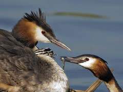 Fish for the Baby (pe_ha45) Tags: greatcrestedgrebe lippe podicepscristatus haubentaucher svassomaggiore grbehupp specanimal somormujolavanco birdperfect mygearandme mygearandmepremium mygearandmebronze mygearandmesilver mygearandmegold mygearandmeplatinum mygearandmediamond rememberthatmomentlevel1 rememberthatmomentlevel2