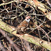Tree Sparrow Notts WT (cpt Richard Rogers)