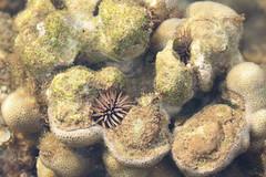 corals and purple sea urchins (Journey of A Thousand Miles) Tags: hawaii kauai tidepool 2012 poipubeachpark