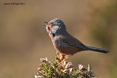 Dartford Warbler (Stuart G Wright Photography) Tags: bird birds g wildlife stuart wright warbler dartford stuartgwrightcom