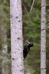 Black Woodpecker (HapaK.) Tags: blackwoodpecker dryocopusmartius palokärki