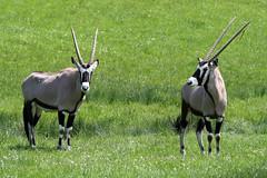 (QuagsPhotos) Tags: animals oregon winston wildlifesafari oryxbeisa wildlifesafari42812