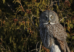 Great Gray Owl...#1 (Guy Lichter Photography - Thank you for 2.8M views) Tags: canada bird birds animal animals canon wildlife manitoba owls steinbach canon14xteleconverter canonef400mmf56l avianexcellence owlgreatgray 5d3 birdperfect amazingwildlifephotography