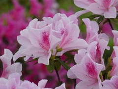 Rhododendron (Shelley Huang) Tags: flowers flower rhododendron pinkflower azalea 杜鵑花