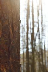 Through the trees (Sam-Smith) Tags: wood sunlight blur tree dof bark