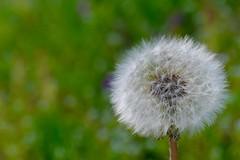 Dandelion (joka2000) Tags: dandelion