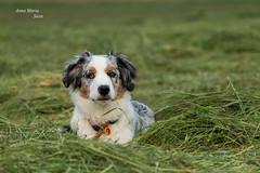 Yari (annamaria.stein) Tags: dog wiese grn australianshepherd bluemerle