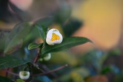 Tea plant (flower) (qooh88) Tags: white tree evergreen camellia  tealeaf teaplant theaceae       camelliasinensis