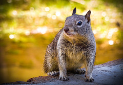 """Small and Courageous"" / The California Ground Squirrel (Cathy Lorraine) Tags: california mammal rodent yosemite clever californiagroundsquirrel courageous"