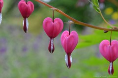 Bleeding Hearts (Sandra Kirly Pictures) Tags: flowers flower spring outdoor poland warsaw botanicalgarden warszawa bleedinghearts ogrdbotaniczny