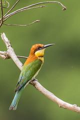 Chestnut-headed bee-eater (Merops leschenaulti) (srikaanth.sekar) Tags: bird nature nikon wildlife d750 corbett beeeater ctr merops 200500mm chestnutheaded leschenaulti