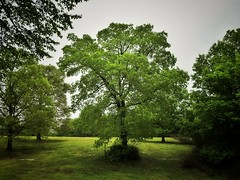 A big tree amongst other trees in a field. :) (kristie1elise) Tags: trees green nature field landscape scenery