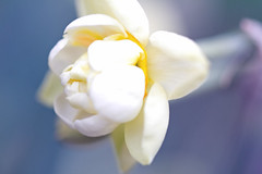 White spring flower (CCphotoworks) Tags: spring springflowers mayflowers whitewhiteflowers