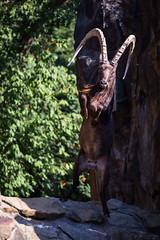Ibex (Cloudtail the Snow Leopard) Tags: berlin animal mammal zoo tier capricorn ibex steinbock capra sibirian sugetier sibirica sibirischer asiatischer