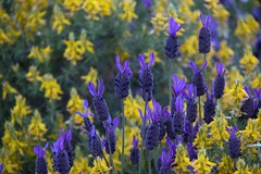Yellow and blue (ramosblancor) Tags: flowers plants naturaleza flores primavera nature colors spring plantas colores monfrage lavanda lavandulastoechas aulaga mediterraneanforest genistascorpius cantueso montemediterrneo