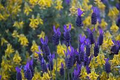 Yellow and blue (ramosblancor) Tags: flowers plants naturaleza flores primavera nature colors spring plantas colores monfragüe lavanda lavandulastoechas aulaga mediterraneanforest genistascorpius cantueso montemediterráneo
