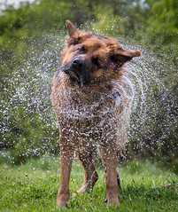 Drying Off 1 (ralashton) Tags: dog handsome brave mansbestfriend germanshepard loyal intelligent courageous flyingwater