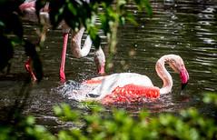 Rosaflamingo (SK snapshots) Tags: weltvogelpark walsrode vogelpark animal animals sksnapshots nikon d750 rosaflamingos rosaflamingo rosa flamingo flamingos phoenicopterus roseus