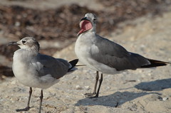 (JJWildlife) Tags: naturaleza bird beach nature wildlife gull playa gaviota