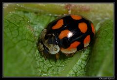 Coccinelle  10 points (Adalia decempunctata) (cquintin) Tags: ladybird ladybug arthropoda coccinelle coleoptera coccinellidae adalia decempunctata