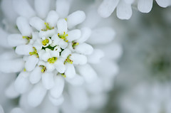 Untitled (Crux_VII) Tags: white flower