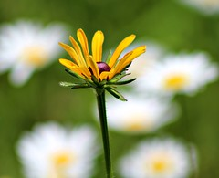 You Are Never Really Alone (Pictures and Pastimes) Tags: flowers nature daisies wildflowers blackeyedsusan
