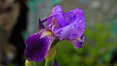 Purple  Rain (Bob's Digital Eye) Tags: iris plant flower nature water canon flora flickr bokeh outdoor depthoffield flicker t3i canonefs55250mmf456isstm bobsdigitaleye