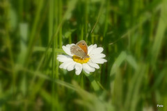 Small Heath Butterfly on Oxeye daisy  (Explored) (pete Thanks for 5 Million Views) Tags: small heath butterfly oxeye daisy gosbecks explored lumix colchester