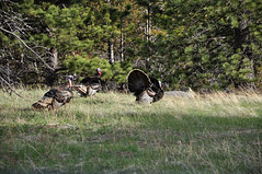 GTY_0610 (Kerri M.) Tags: rockymountainnationalpark rockies nationalparks wildturkeys turkey wildlife nature