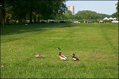 Threesome in the park DSCF2124a (normko) Tags: park london duck little walk hyde mallard trio threesome tufted