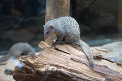 Banded Mongoose in Central Park Zoo (massmatt) Tags: nyc newyork animal zoo unitedstates mongoose