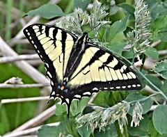 Swallowtail Butterfly (Pat's Pics36) Tags: canada butterfly bc britishcolumbia stives swallowtail yellowandblack shuswaplake nikond7000 nikkor18to200mmvrlens