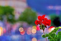 A flower (Matja Skrinar) Tags: sigma 105mm bokehwhores 100v10f d90 1050mmf28