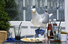 What are YOU looking at??? (Patrick Dirden) Tags: gull bird seagull wildlife fishandchips food leftovers guilty trouble troublemaker caught scavenger brightonpier palmcourtrestaurant sea ocean water channel englishchannel brighton eastsussex greatbritain unitedkingdom england europe