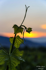 Grapevine (Peter Daum 69) Tags: light sunset sun color nature landscape licht vineyard scenery sonnenuntergang natur sheet blatt landschaft sonne farbe grapevine vino wein weinberg rebe palatina wingert