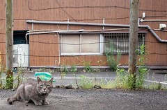 Stray cat (RU333333chang) Tags: cat alley alleycat  straycat streetsnap ricohgr2