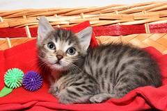 Ti (66Colpi) Tags: occhi cucciolo orecchie tigrato musino
