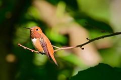 Rufus Hummingbird (brian.bemmels) Tags: hummingbird bc richmond rufus selasphorusrufus selasphorus rufushummingbird
