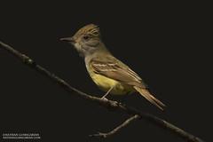 Great Crested Flycatcher (Nathan Goshgarian) Tags: portrait lowlight nikon birding perch perched flycatcher d4 greatcrestedflycatcher wildlifephotography nikond4 massachusettsbirds nathangoshgarian