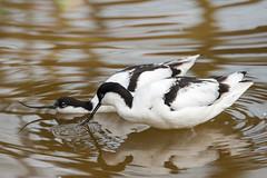 SK7_7302 (glidergoth) Tags: birds avocet britishbirds pensthorpe