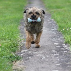 Day 171 Fetch (c-mitchell39) Tags: dog garden fetch borderterrier