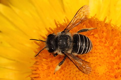 African Carder bee (kasia-aus) Tags: flower nature insect feeding native australian australia bee canberra february 2012 megachilidae megachilinae anthidiini afranthidium immanthidium repetitum