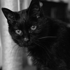 one white whisker (still~positive) Tags: black cat mono nikon 28mm whisker manual freda thecatwhoturnedonandoff