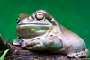 Jabba the Hutt (Bumbus) Tags: top20frogs greatphotographers wow1 wow2 flickrstruereflection1 flickrstruereflection2 flickrsfinestimages1 flickrsfinestimages2 flickrsfinestimages3 mygearandme mygearandmepremium mygearandmebronze mygearandmesilver mygearandmegold vigilantphotographersunite vpu2 vpu3 vpu4 vpu5 vpu6 vpu7 vpu8 vpu9 vpu10 allnaturesparadise