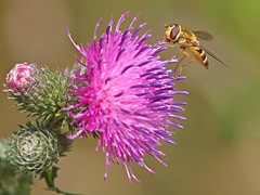 A hoverfly working on a Spear Thistle. (Bienenwabe) Tags: flower macro insect thistle asteraceae hoverfly distel schwebfliege spearthistle kratzdistel