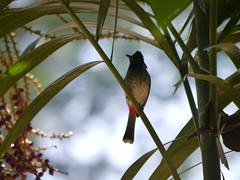 Red Vented Bulbul, Maskeli Oya family park resort (MikeTnT) Tags: srilanka maskeliya